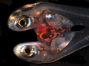 siamese twins - Fundulus heteroclitus - photo Reid Brennan